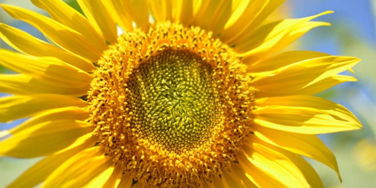 Estudio: Plantas de energía solar serían más eficientes si tuvieran forma de girasol