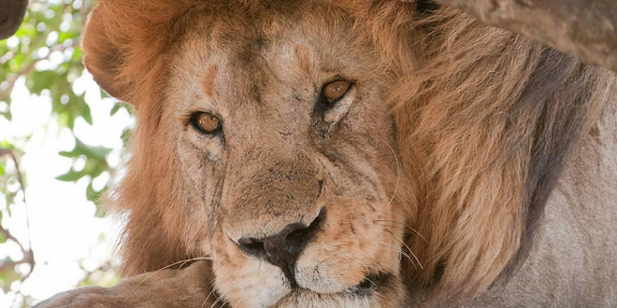 Rastrean a leones en África usando mensajes SMS