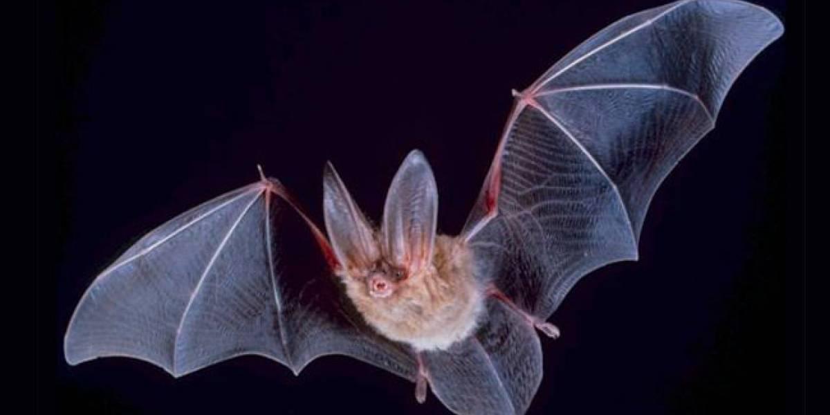 BaTboT: Un robot-murciélago con acento español