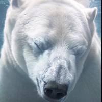 polarbearfacecloseupunderwaterfinalsh400ppicopy-d554a002a60985f445036d7fa90b3ce3.jpg