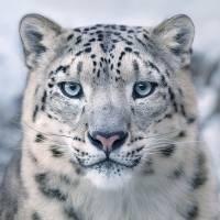 snowleopardportraitshusm400ppicopy-524708840e8bd579f08db2ef8e534944.jpg