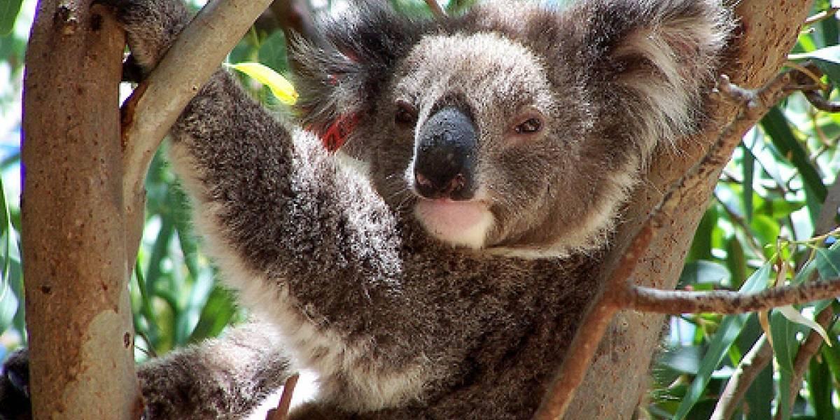 Karmic Koala: La mascota de Ubuntu 9.10