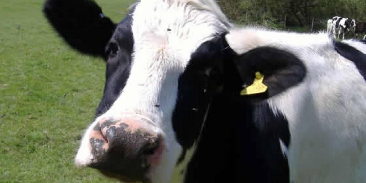 Datacenters funcionarán con estiércol de vacas