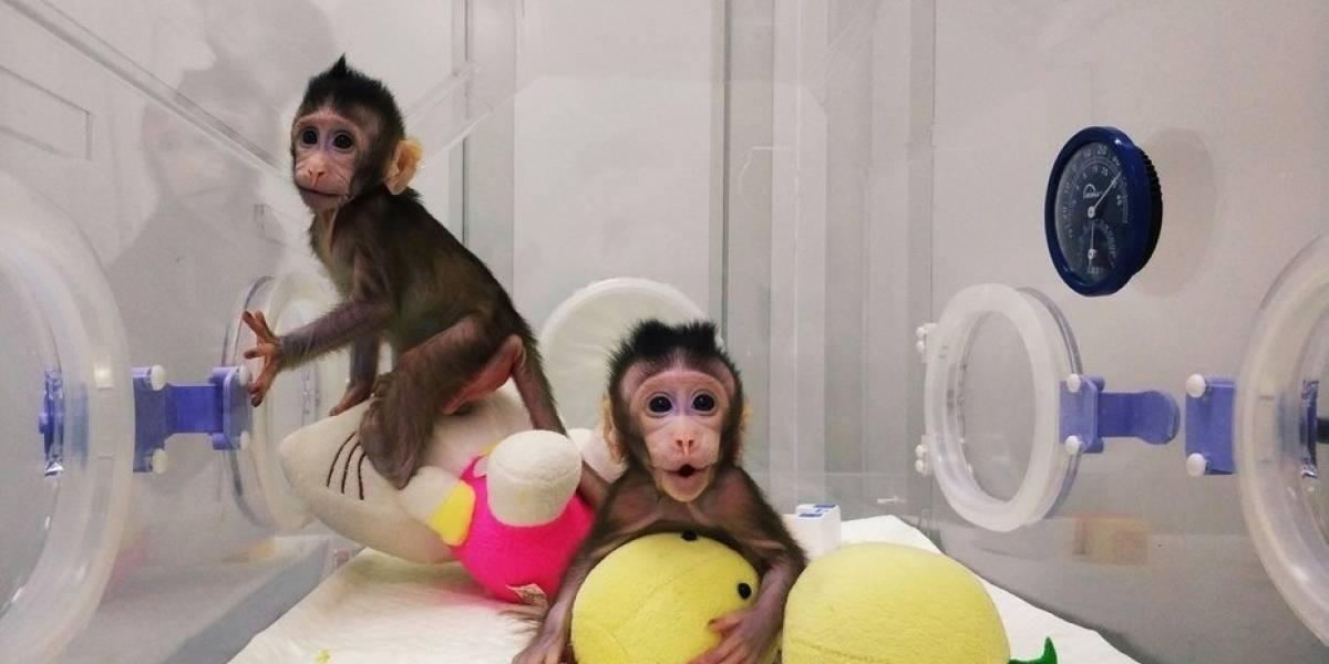 "ONG animalista PETA ve clonación de monos como ""un espectáculo de terror"""