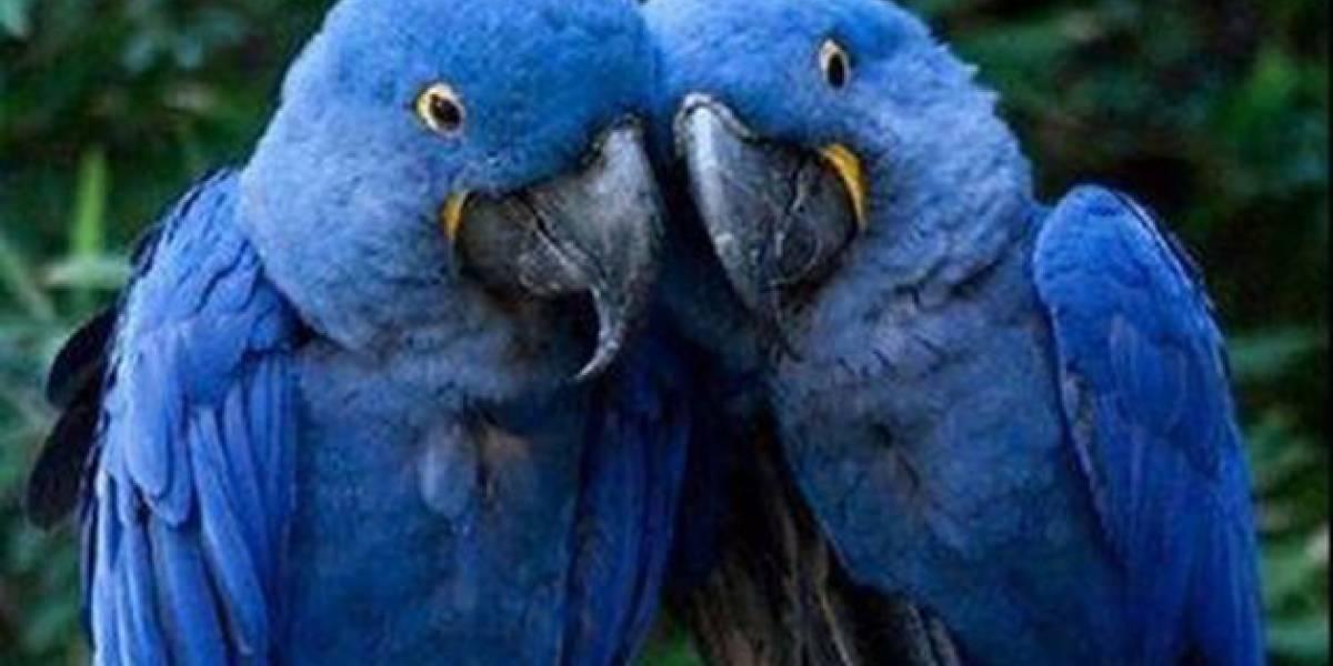 Rescatan en Ecuador un guacamayo azul, uno de los loros más grandes del mundo