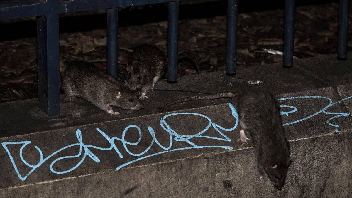 Invasión de ratas en París por crecida de río