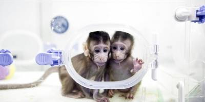 Monos clonados en China
