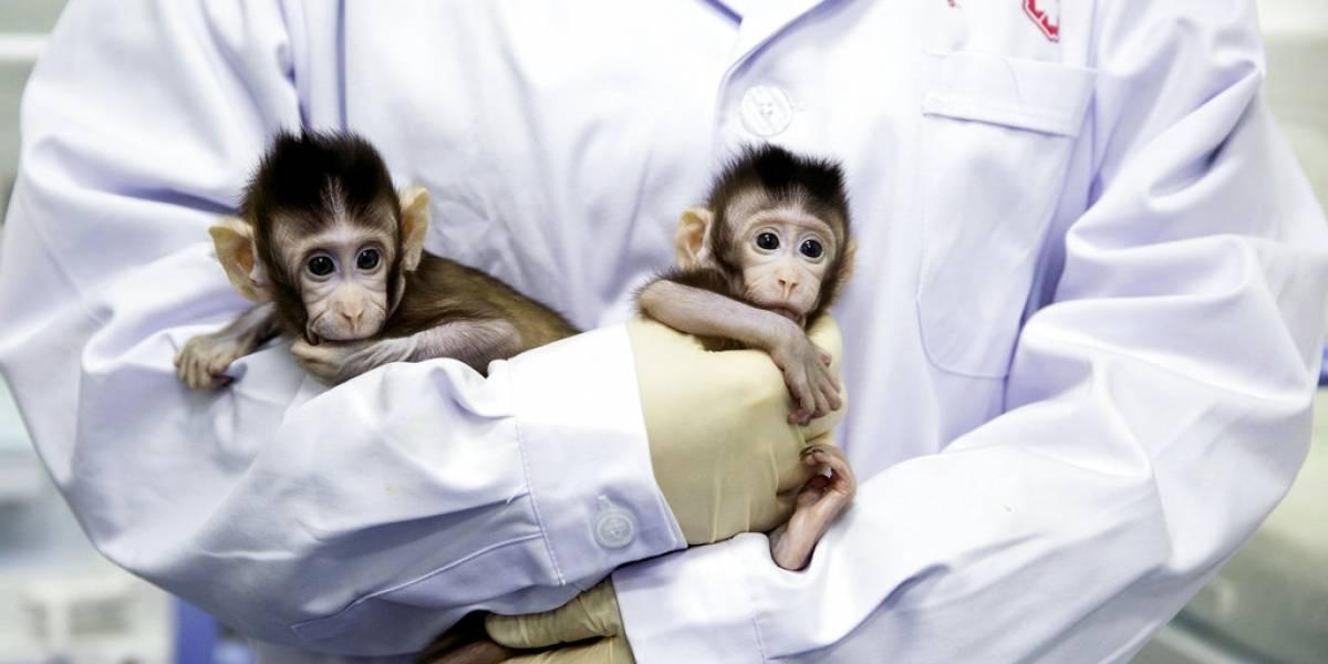 FOTOS. Nacen los primeros monos clonados con la técnica de la oveja Dolly