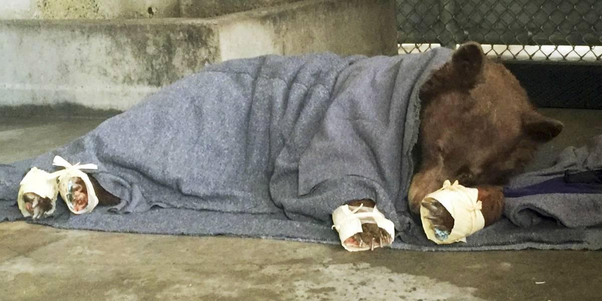 Acupuntura, tratamiento quiropráctico y terapia con láser frío: los métodos alternativos con los que tratan a los osos quemados en California