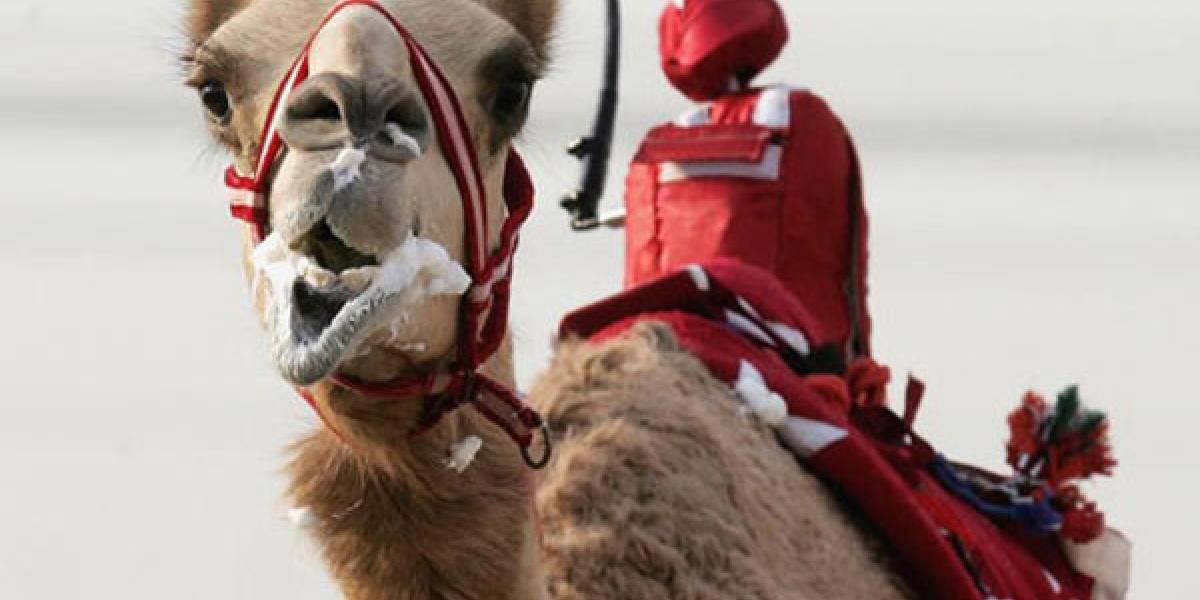 Polémica tras el uso de electrochoques en las carreras de camellos con jinetes robot