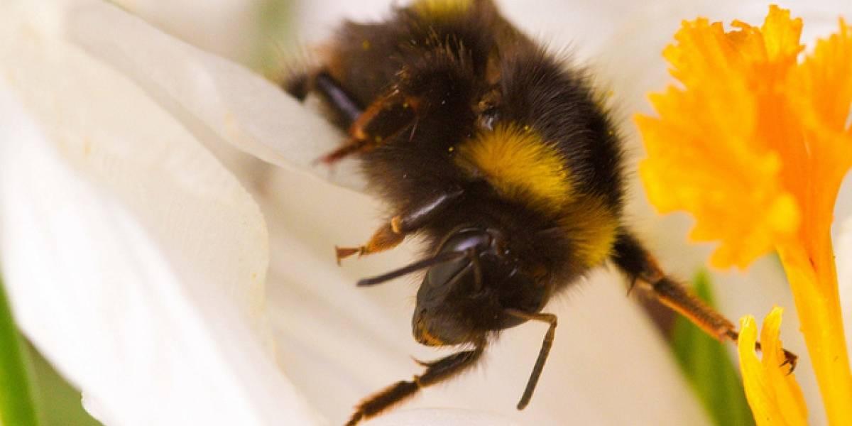 Estudio: Las abejas sí estarían muriendo a causa de la telefonía móvil
