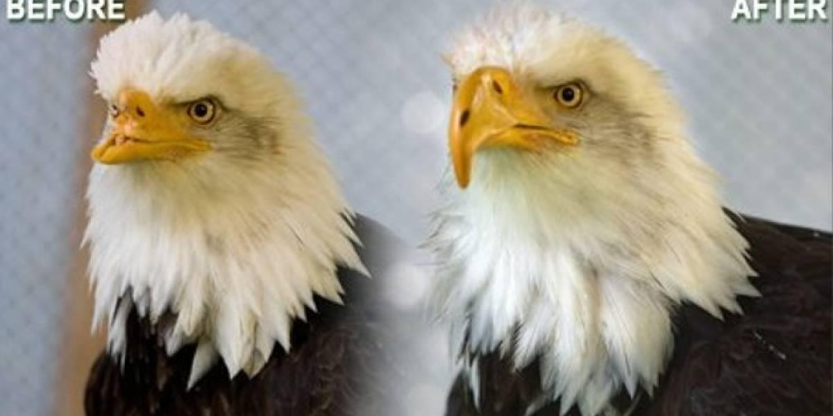 Reparan el pico de un águila calva con una impresora 3D