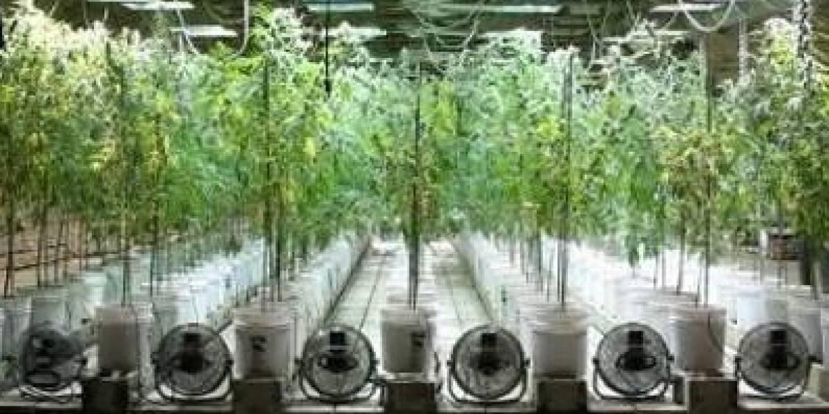 El consumo de marihuana es nocivo para… el medioambiente