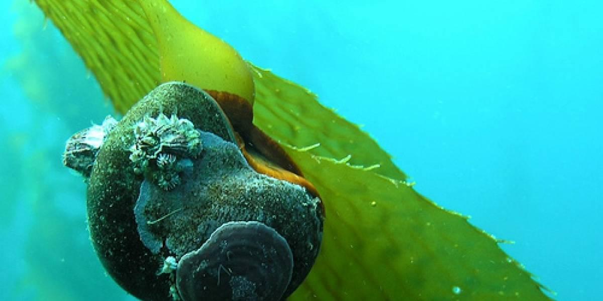 Los caracoles marinos tienen la llave para borrar tus peores recuerdos