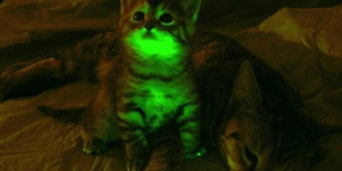 Este gatito fluorescente podría iluminar el camino hacia la cura del SIDA