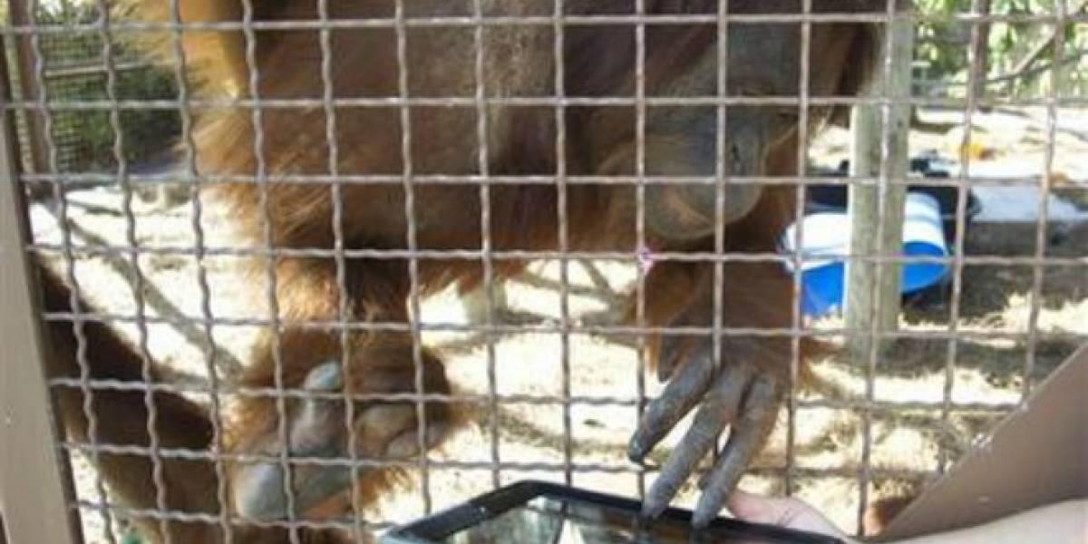 Orangutanes del zoologico de Miami usan iPads para comunicarse