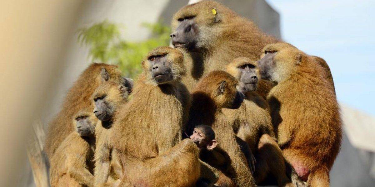 Cerca de 50 macacos fugiram das jaulas de um Jardim Zoológico