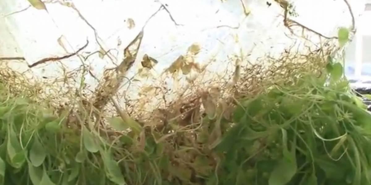 Japoneses hacen crecer plantas sobre delgadas hojas de gel