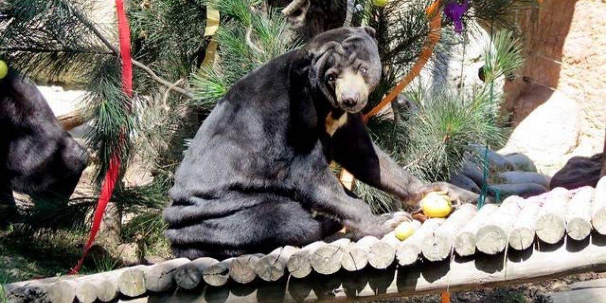 Padres le regalaron un oso de mascota a su hijo de tres años, pero el animal lo traicionó y lo atacó