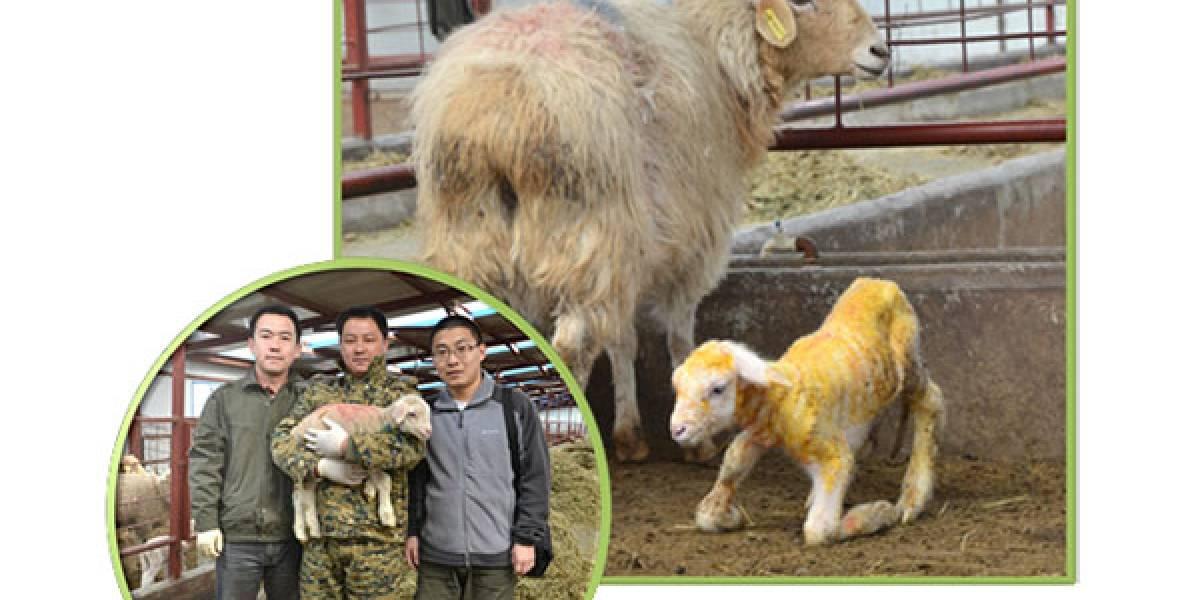 Nace primera oveja transgénica clonada y se encuentra en China