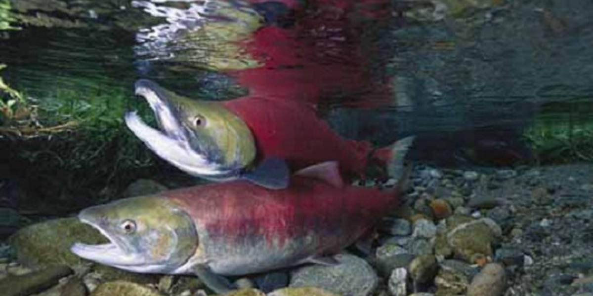 Científicos utilizan esperma de salmón para desarrollar dispositivo de almacenamiento