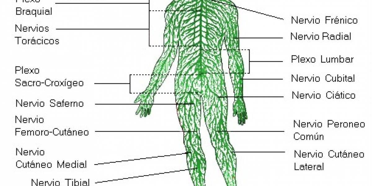 Liberado simulador artificial del sistema nervioso humano