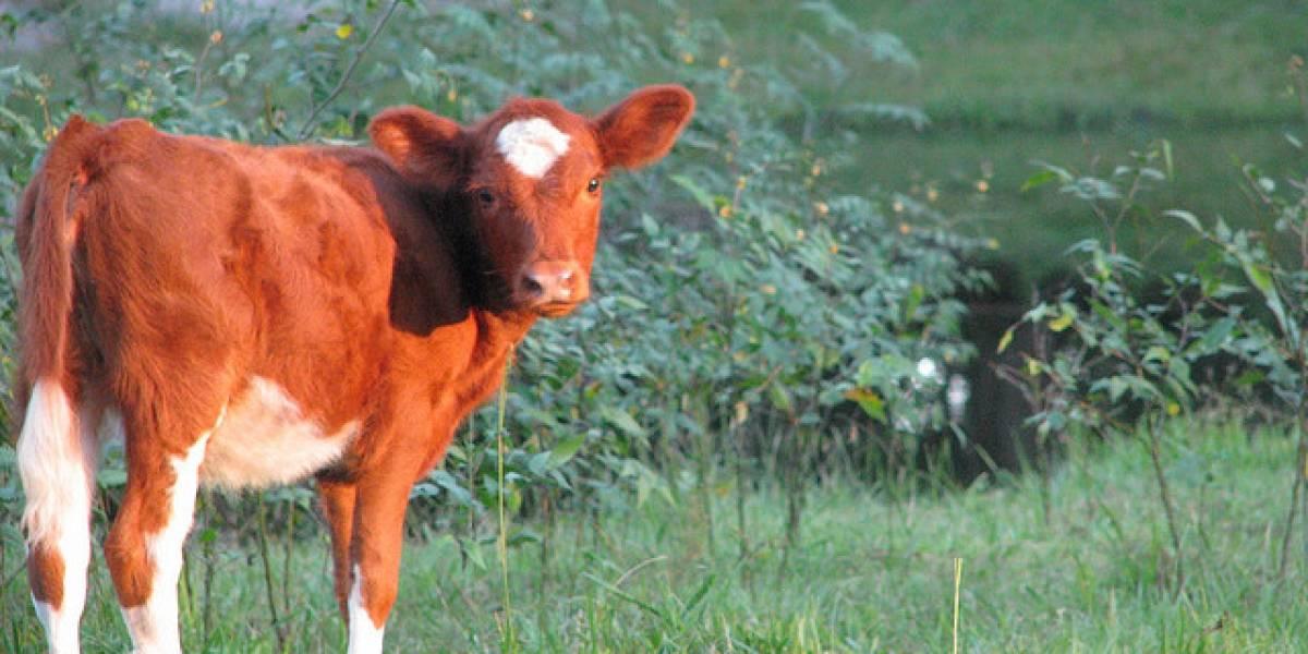 "Argentina: Presentan vaca clonada que producirá ""leche maternizada"""