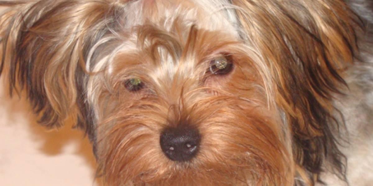 Desarrollan lentes intraoculares para perros