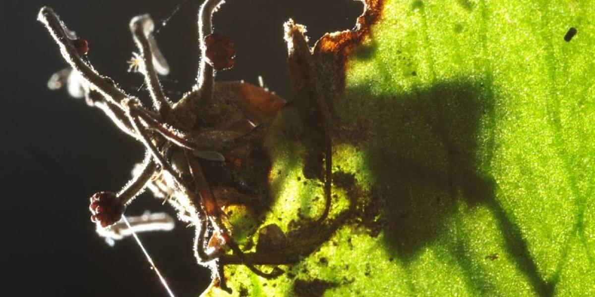 Científicos descubren hongos que convierten hormigas en zombies