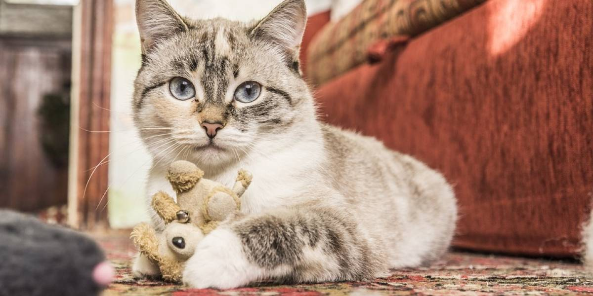 ¿Realmente los gatos contagian la toxoplasmosis a los humanos?