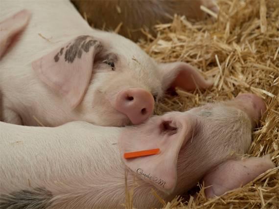 Insólito: Pandillas en China propagan peste porcina en cerdos a través de drones