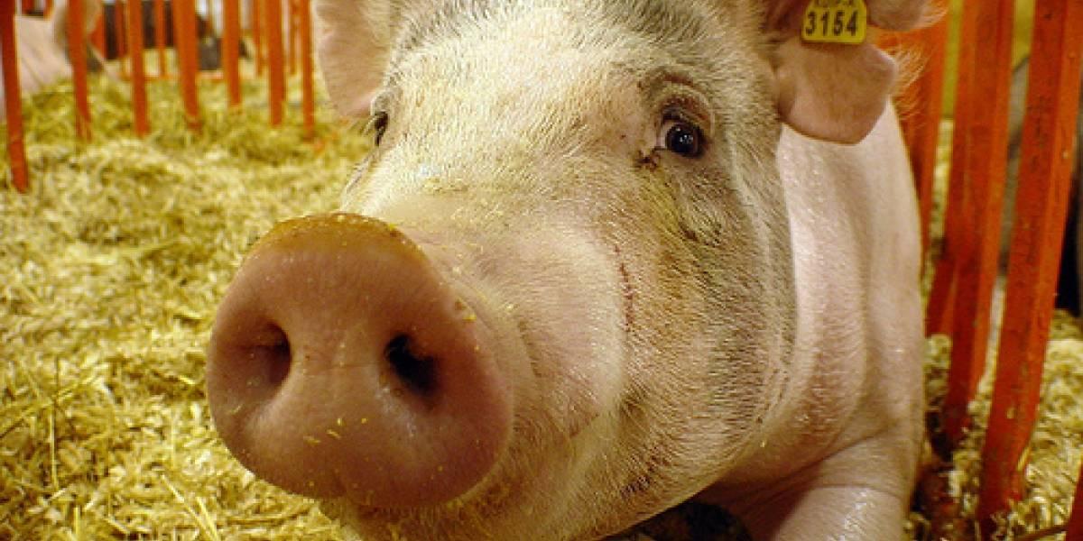 Científicos crean carne de cerdo en un laboratorio