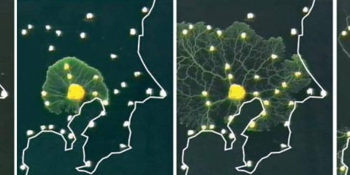Un protozoo que diseña redes ferroviarias