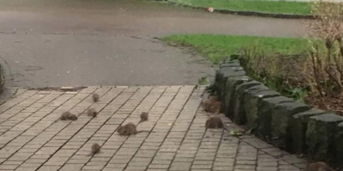 Video: 30 ratas en la calle a plena luz del día horrorizan a una mujer
