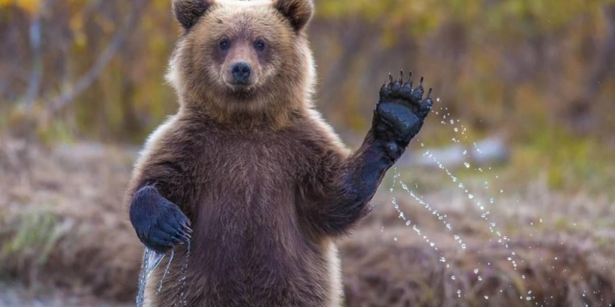 Buscan financiar simulador de osos en Kickstarter