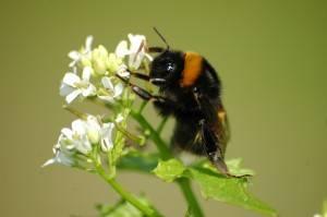 Las abejas en la ciudades podrían indicar los niveles de contaminación