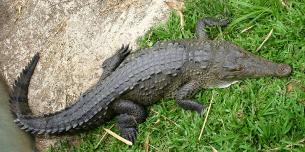 Un cocodrilo se niega a comer luego de tragarse un teléfono móvil