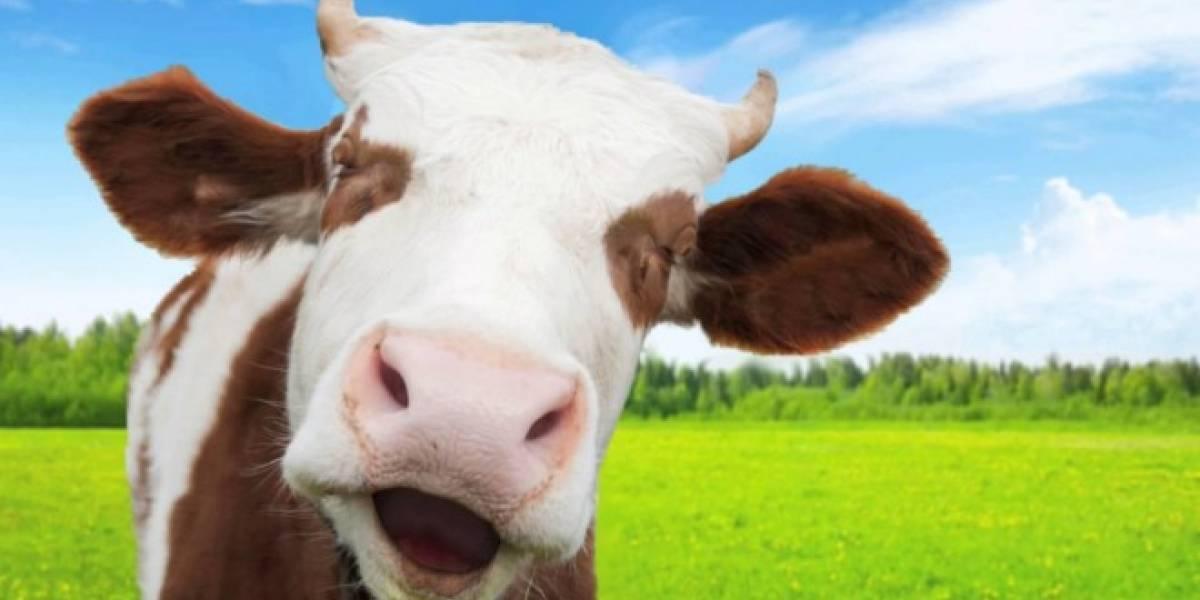 En Túnez regalan vacas a los mejores jugadores de un juego móvil