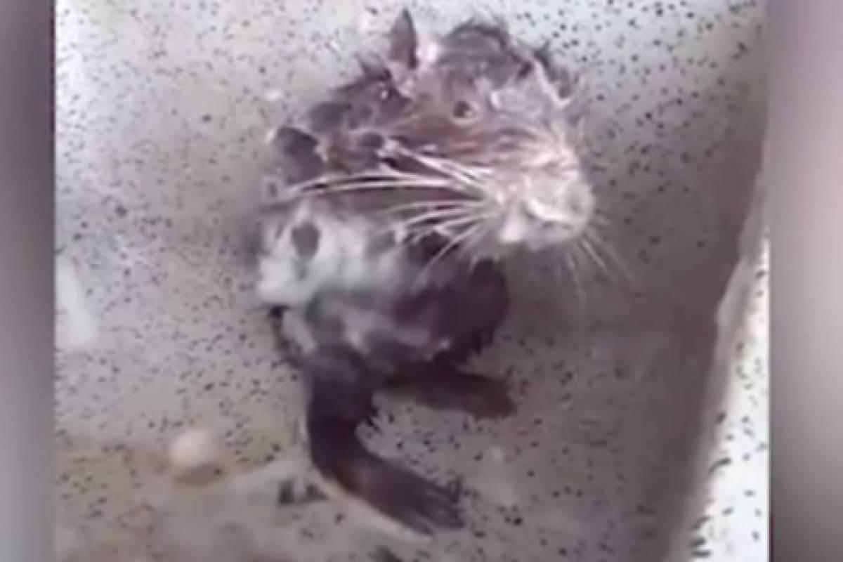 Una rata bañándose... ¿es posible?