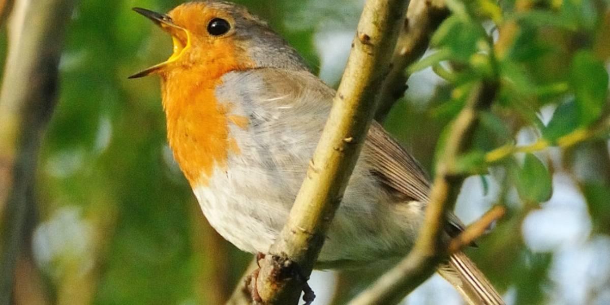 'Shazam para pájaros' busca debutar próximamente