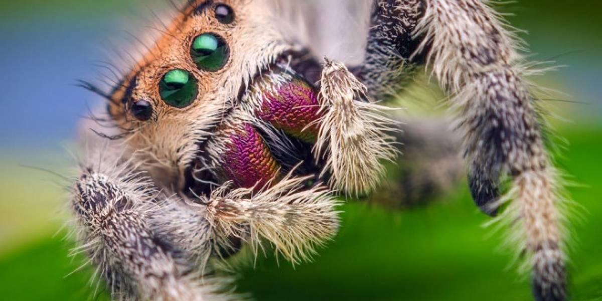 Estudio sugiere que el miedo hace lucir más grandes a las arañas