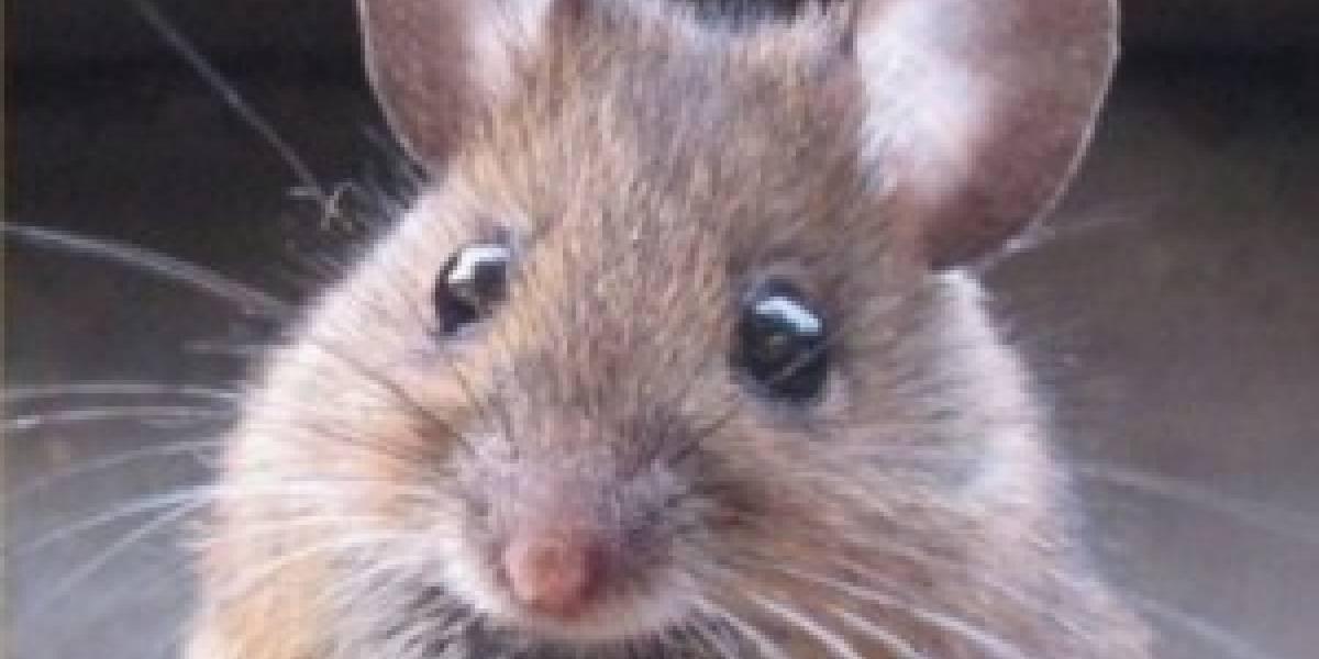 Ratones obtienen visión infrarroja tras inyección de nanopartículas