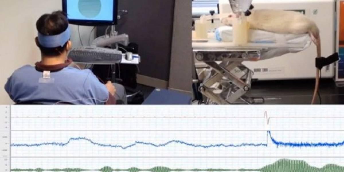 Universidad de Harvard crea interfaz que permite a humanos controlar una rata solo con el pensamiento