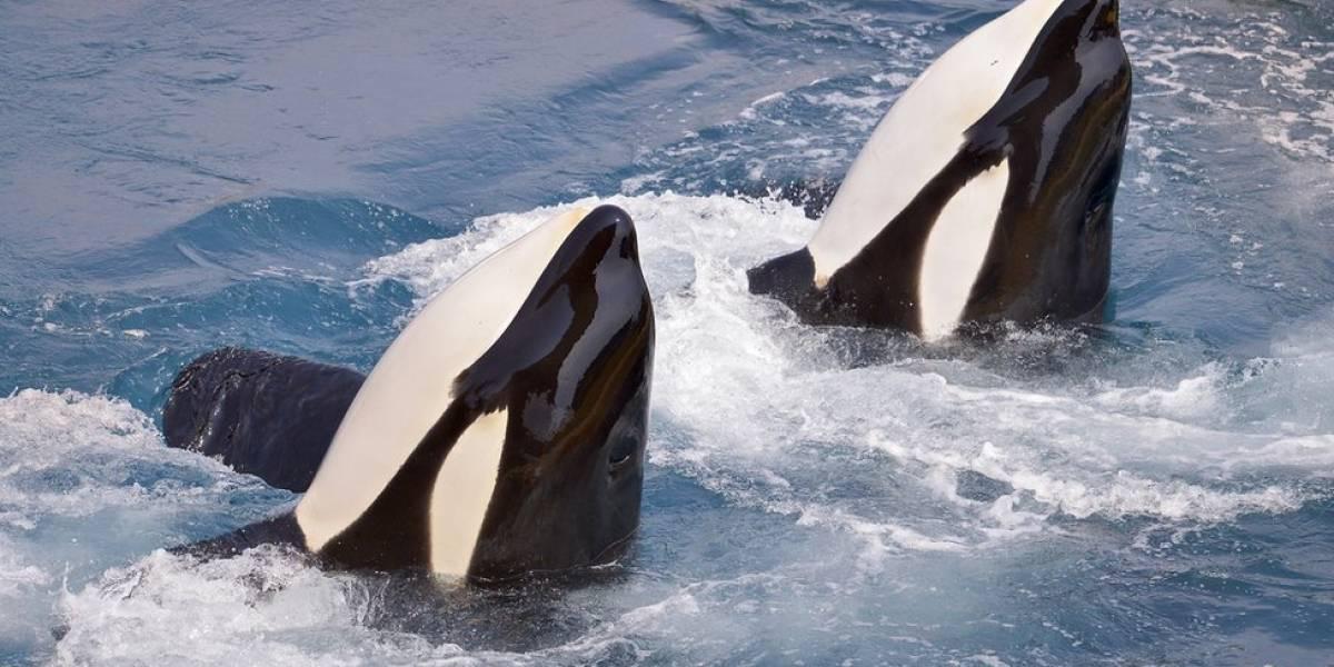 La curiosa reacción de dos orcas al protagonizar hilarante reto viral para perros