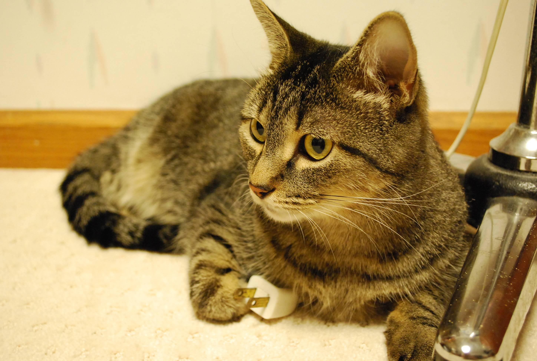 Gatos podrían reconocen su propio su nombre aunque no lo creas, según estudios