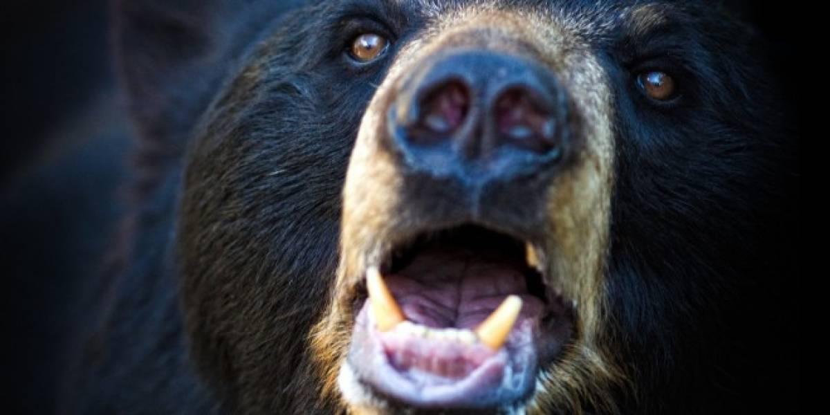 La hibernación del oso negro sería clave para salud de astronautas en viajes prolongados
