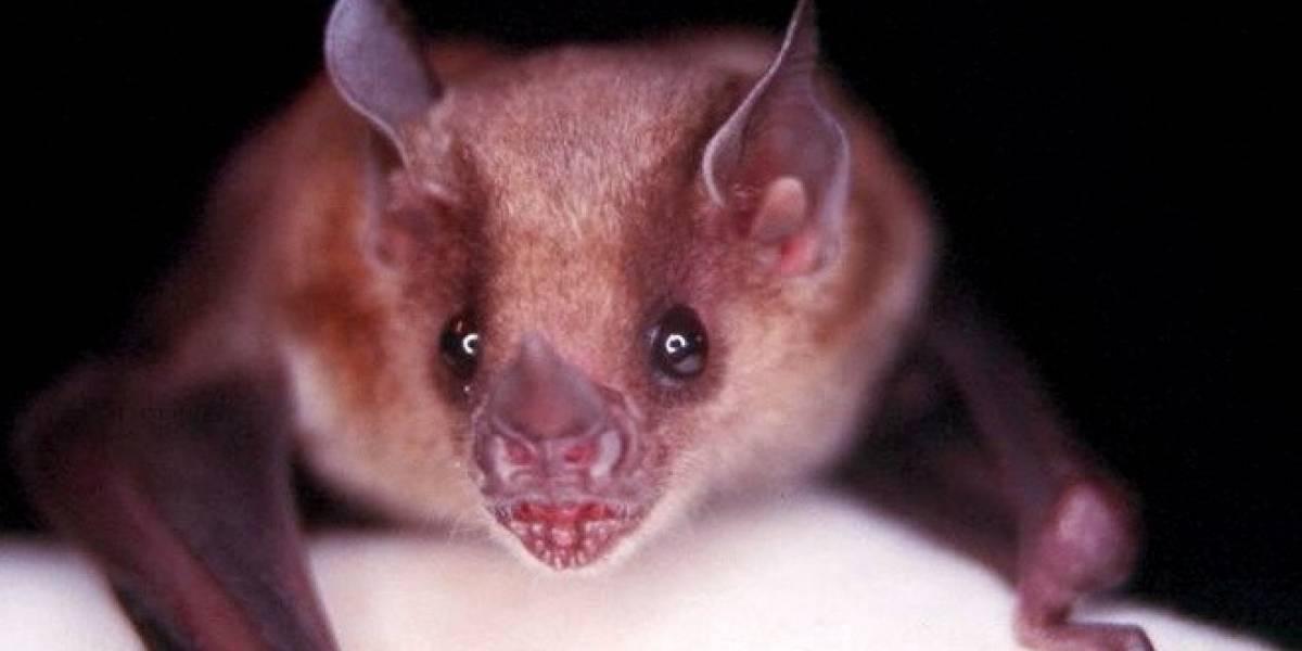 Científicos descubren el virus de la gripe en los murciélagos