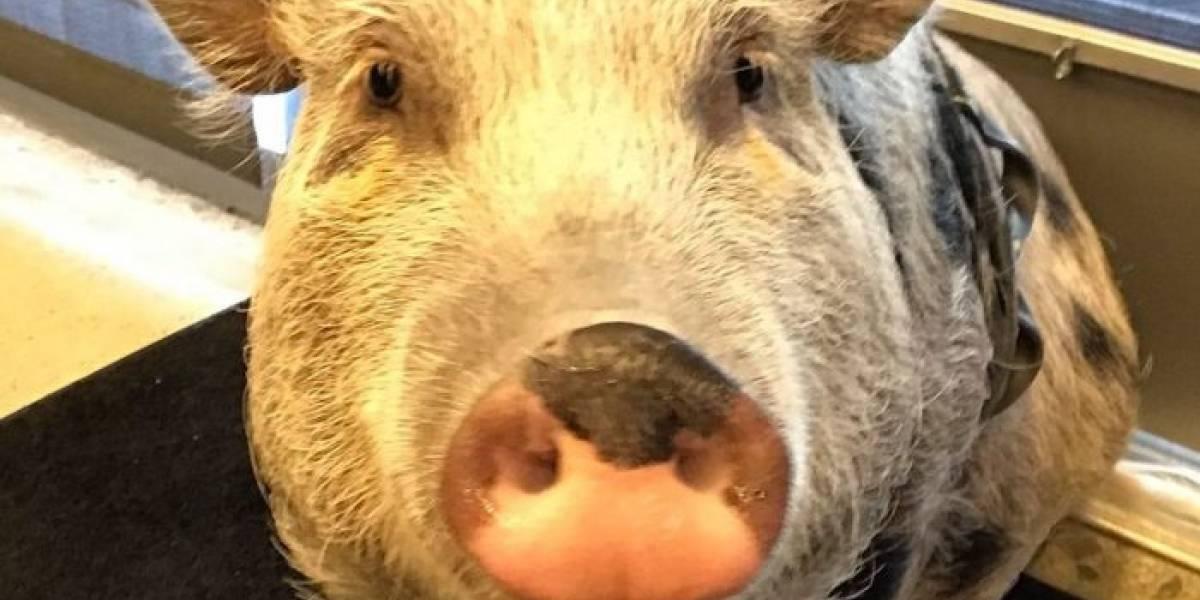 Naughty Dog hace captura de movimiento a un cerdo para The Last of Us 2