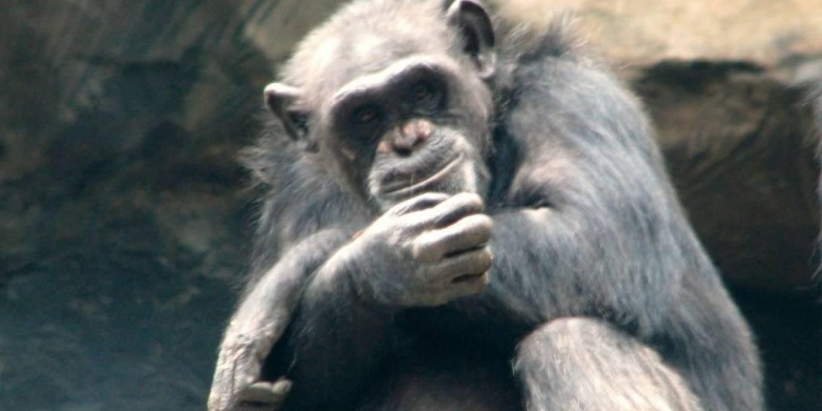 Científicos comprueban que chimpancés pueden recordar películas si tratan de simios