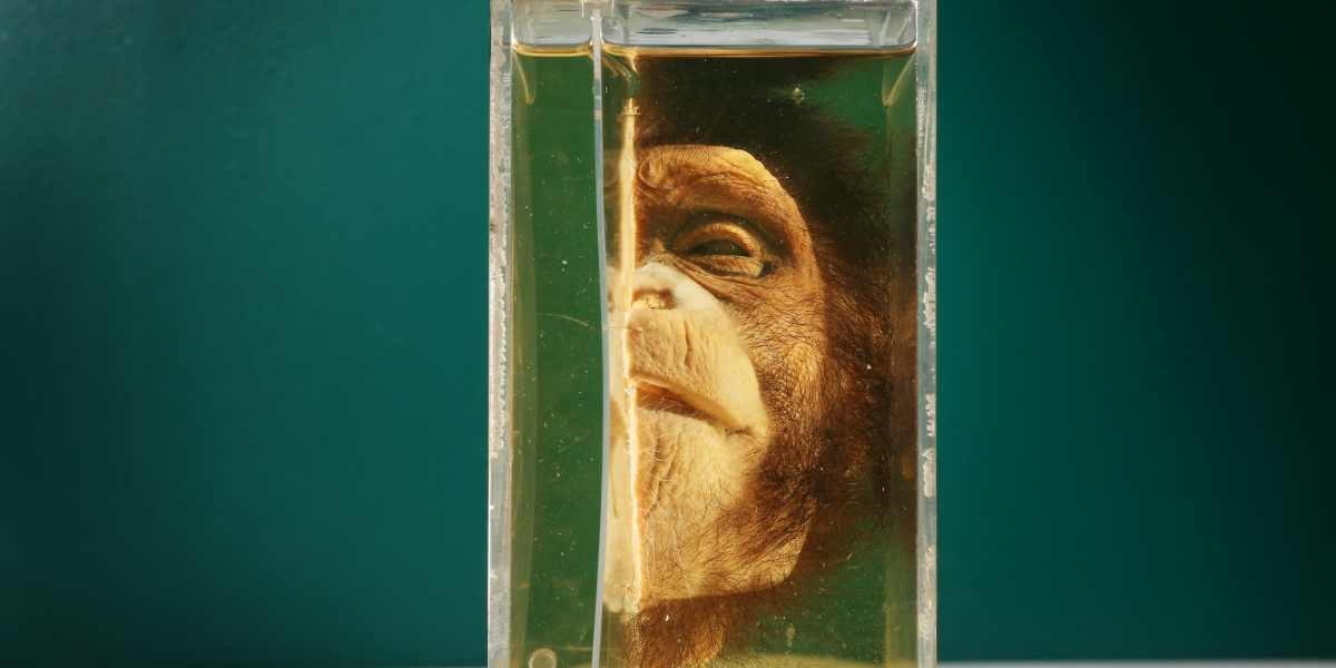 Científico asegura que el primer híbrido entre un humano y un chimpancé nació hace casi 100 años